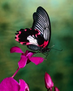 Papilio Rumanzovia Butterfly on Flower Philippines